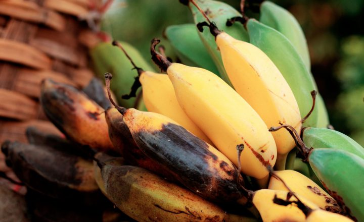 Bananen in Gefahr: Tropical Race 4 bedroht Bananen