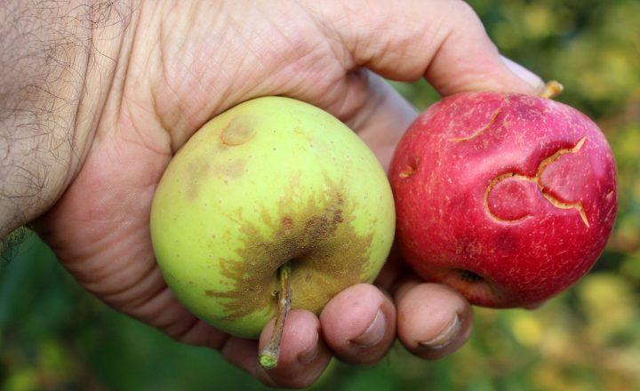 "ALDIs ""Wetteräpfel"" – weniger Verschwendung"